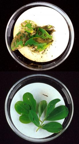Fraßschäden durch Elasmopalpus lignosellus-Larven an konventioneller (oben) und Bt-Erdnuss (unten). Die Larve im unteren Bild ist nach wenigen Bissen tot.
